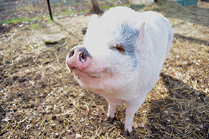 Radley is a cute pot bellied pig available for adoption at Longmeadow